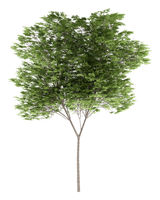 common beech tree isolated on white background
