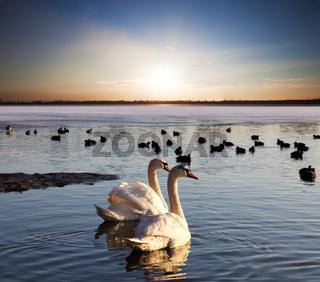 Pair of swans on lake at sunset