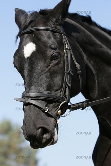 german warmblood horse