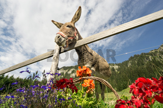 Hilarious big eared donkey is hungry for flowers.