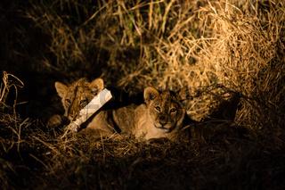 Löwe (Panthera leo, Afrika, Botswana, Tuli Block