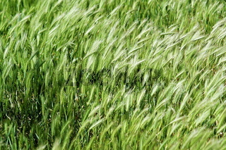 Series of the texture (waves of the green grass)