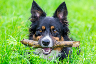 Head border collie with stick in beak