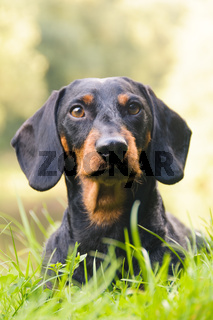 Portrait dachshund in nature