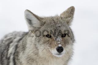 der Blick des Kojoten... Kojote *Canis latrans*