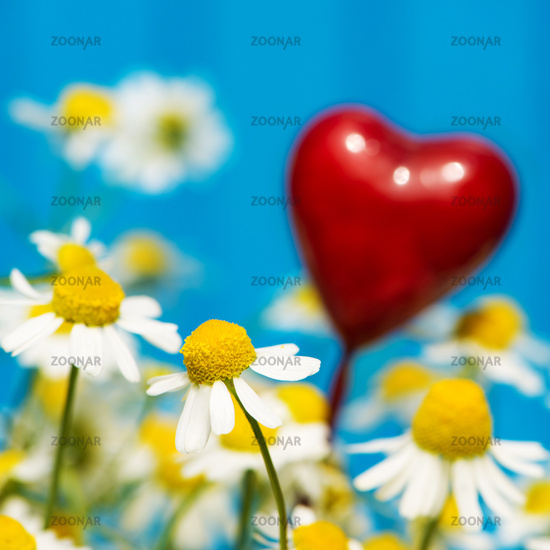 Chamomile with heart
