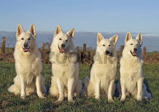 4 Weisse Schweizer Schäferhunde