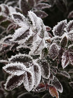 frost on the leaves