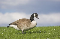 Canada goose on the meadow