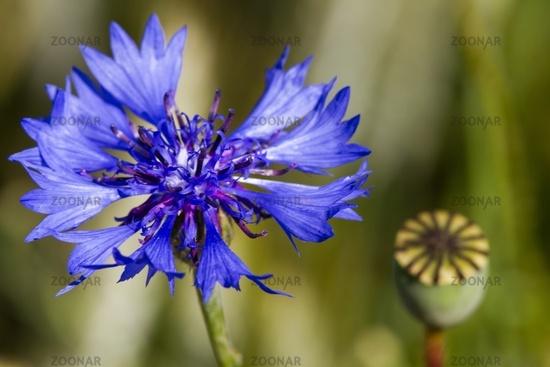 Cornflower 8