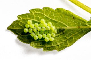 Gelege / Eier eines C-Falters an der Unterseite eines Blattes