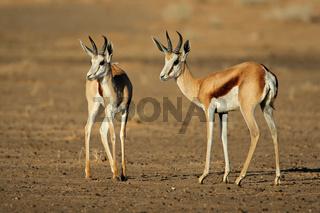 Springbok antelopes