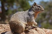 Grey Squirrel Close-Up – Grand Canyon