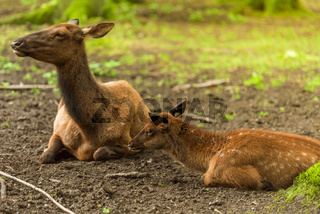 Baby deer and its mother