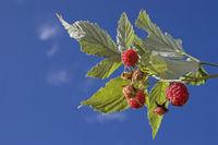 Ripe raspberries on the plant