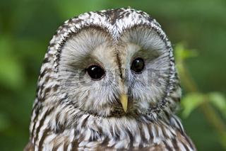 Habichtskauz Portrait (Strix uralensis), Eule, Bayern, Deutschland, Ural Owl, Bavaria, Germany, Portrait