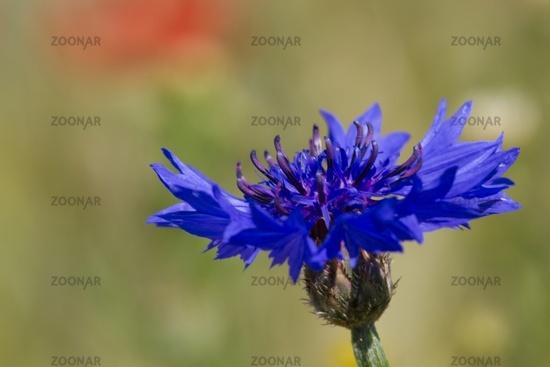 Cornflower 11