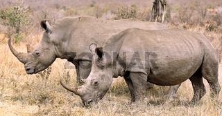 Zwei Breitmaulnashörner im Kruger Nationalpark, Südafrika, white rhinoceroses, South Africa