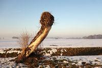 Grotesque Pollard Willow