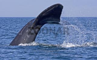 Schwanzflosse eines Noerdlichen Glattwales (Eubalaena glacialis)