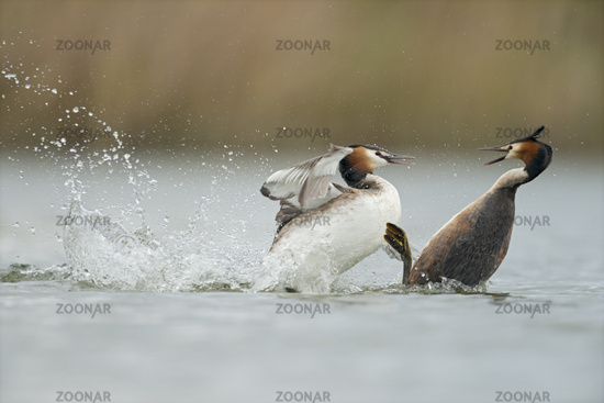 in hard fight... Great Crested Grebes *Podiceps cristatus*