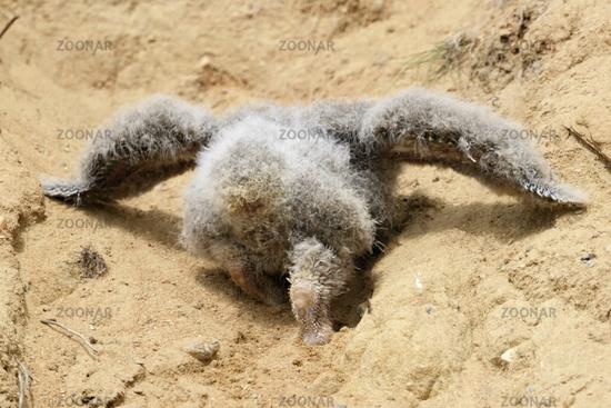walking uphill... Eurasian Eagle Owl *Bubo bubo*