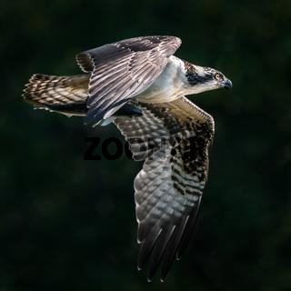 Osprey Catch III