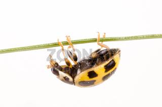 Vierzehnpunktiger Marienkäfer (Propylaea quatuordecimpunctata) - Yellow ladybird (Propylaea quatuordecimpunctata)
