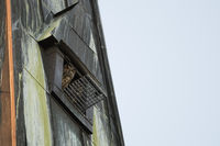 nesting aid in church spire... Eurasian Eagle Owl *Bubo bubo*, owls watching out of nesting aid