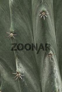 Kaktus, Ritterocereus standleyi, Struktur der Kutikula, Areolen, Dornen, Cuticula, Thorns