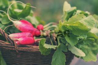 Bunch of fresh radishes in a wicker basket outdoors on the table