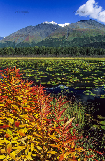 Fireweeds in fall at lakeside by a mountain lake / Kenai Peninsula  -  Alaska