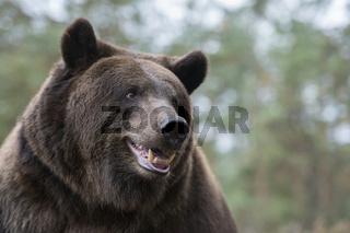 Kopfportrait... Europäischer Braunbär *Ursus arctos*, lustiges close-up