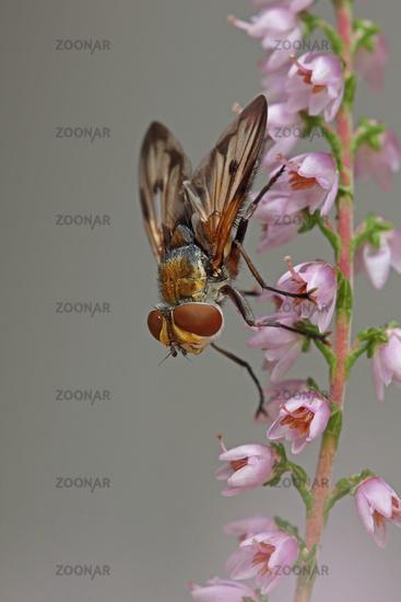 Ectophasia crassipennis