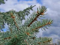 Blue fir twigs
