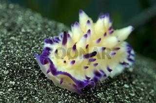 Gelbviolette Prachtsternschnecke