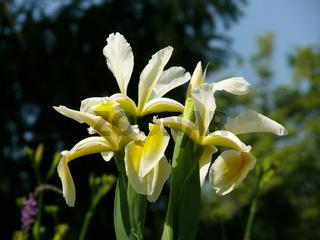 Iris orientalis, Orientalische Schwertlilie