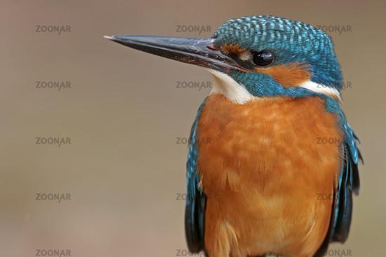 Common European Kingfisher, Alcedo atthis, Germany