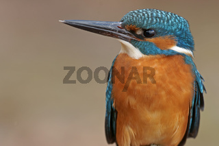 Eisvogel, Alcedo atthis, European kingfisher, Common kingfisher
