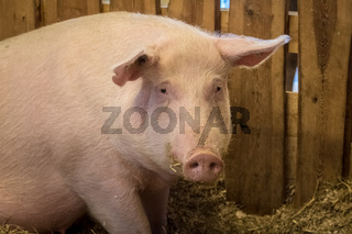Portrait of a big pink female domestic pig on a farm