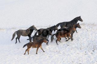 Connemara Ponys im Winter