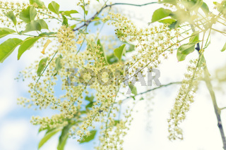 Beautiful spring scene with many little flowers. Cherry bird-cherry tree blossom. Blue sky background. Toned photo. Shallow depth of the field.