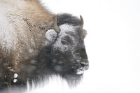 crusted with ice and snow... American Bison *Bison bison*