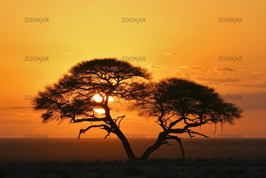 Etosha National Park, Namibia, Umbrella Thorn Acacia at sunrise, Africa