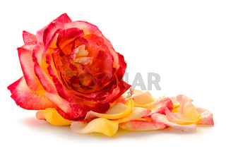 Pink rose closeup and petals isolated on white background.