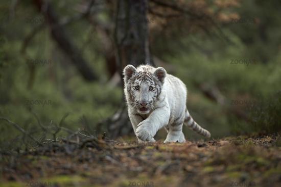 sneaking... Royal Bengal Tiger *Panthera tigris*