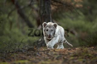 anschleichend... Königstiger *Panthera tigris tigris*