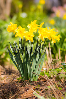 Flowerbed with yellow daffodil flowers