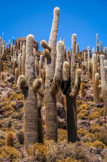 Big Cactuses in Bolivia