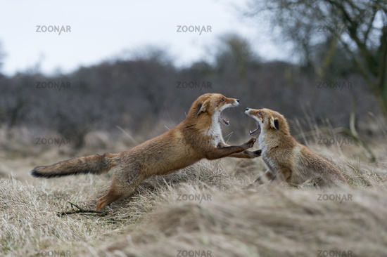 fighting... Red Foxes *Vulpes vulpes*